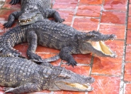 Gros crocodiles