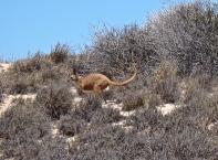 Gros kangourou