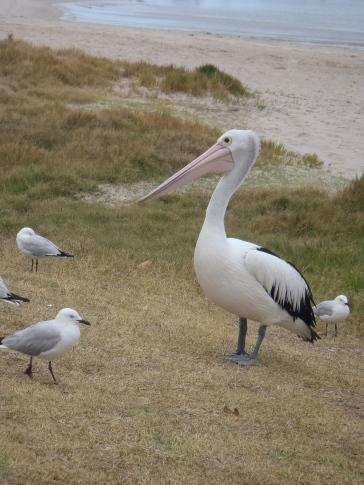 Kalbari, Pelican feeding