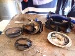 Abalones fraichement péchées