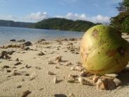 Coquillages vivants qui se nourrissent de noix de coco