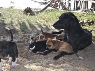 8 petits chiots