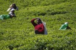 Ramasseuses de feuilles de thé