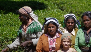 L'équipe des femmes qui cueillent les feuilles de thé