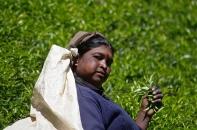 Ramasseuse de feuilles de thé