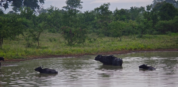 Buffaloes et crocodile