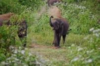Eléphant qui se couvre de poussière