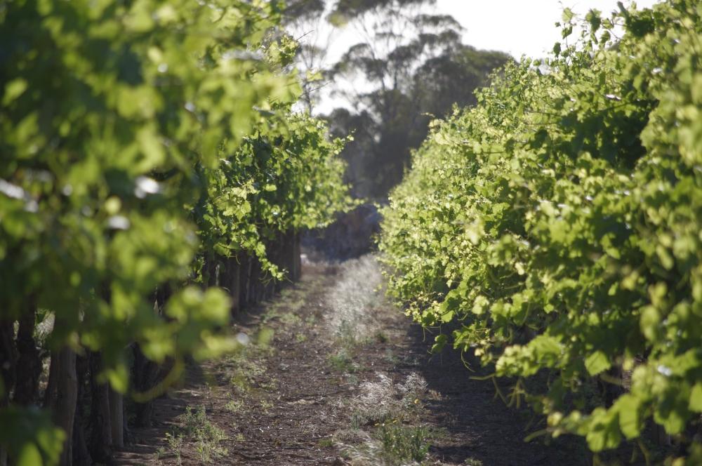 Vignobles au milieu de l'outback (2/6)